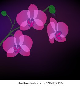 blooming purple phalaenopsis orchids vector on black background