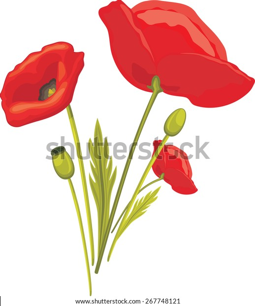 blooming-red-poppy-isolated-on-600w-2677