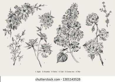 Blooming trees. Vintage vector botanical illustration. Spring set. Black and white