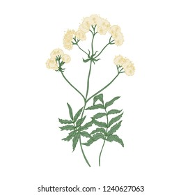 Blooming valerian flowers isolated on white background. Elegant drawing of wild perennial flowering plant or wildflower used as sedative or anxiolytic. Colorful natural hand drawn vector illustration.