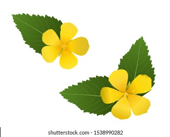 Blooming yellow Turnera diffusa (Damiana) flower with green leaves on white background