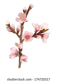 Blossoming almond branch with pink flowers. Realistic isolated vector illustration