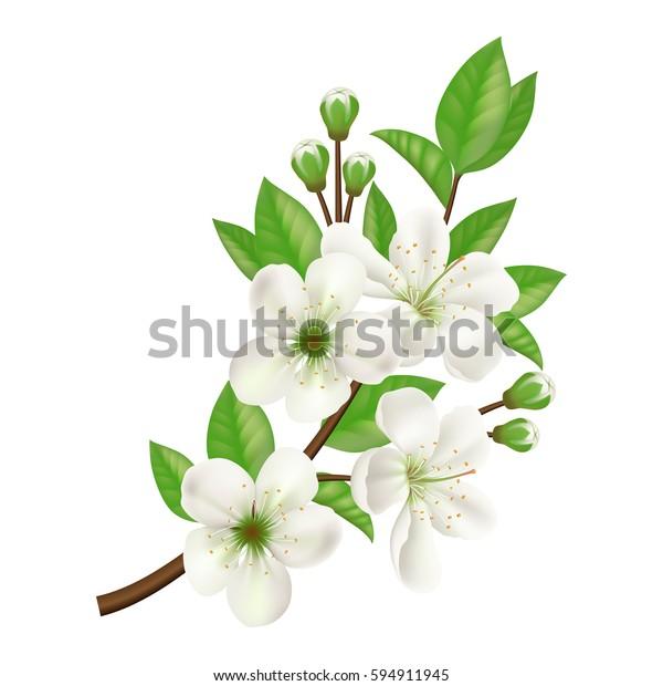 Цветущая ветка яблочного дерева