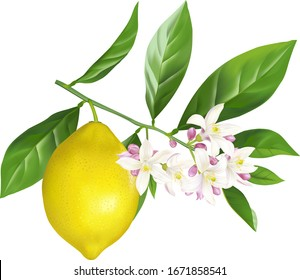 Blossoming branch of a lemon with the fruit. Vector.