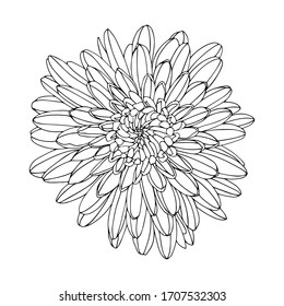 A blossoming bud of aster or chrysanthemum in doodle style. Black-white vector illustration. Floral design. The element is drawn by hand and isolated on a white background. Outline drawing