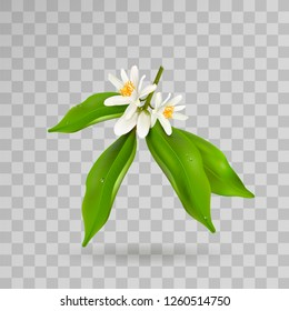Blossoming citrus plant branch with flowers, buds and green leaves isolated on transparent background. Realistic Vector Illustration