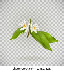 Blossoming citrus plant branch isolated ontransparent background. Realistic Vector Illustration