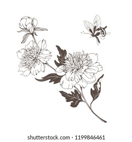 Blossoming peony flowers on white. Vector illustration.
