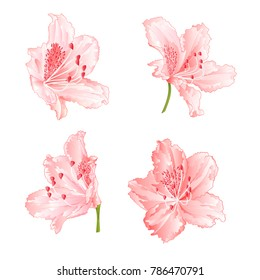 Blossoms light pink rhododendrons  set two  on a white background vintage  vector illustration editable hand draw