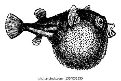 Blowfish is a symmetric key block cipher vintage line drawing or engraving illustration.