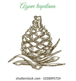 Blue agave. Plant for preparation of tequila. Engraving style. Vector illustration.