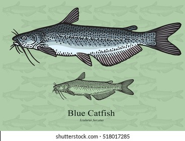 Blue Catfish. Vector illustration with refined details and optimized stroke that allows the image to be used in small sizes (in packaging design, decoration, educational graphics, etc.)