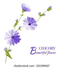 Blue chicory flowers isolated on white background. Vector illustration.