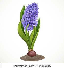 Blue hyacinth grows from a bulb in the soil isolated on a white background a spring flower