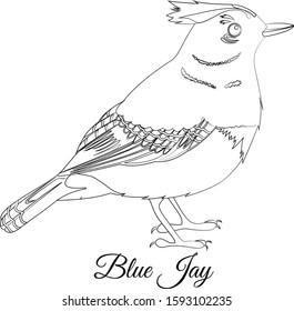 Blue jay bird coloring vector illustration