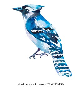 Blue jay isolated on a white background. Watercolor. Vector.