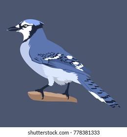 Blue Jay Vector Illustration. Bird Vector