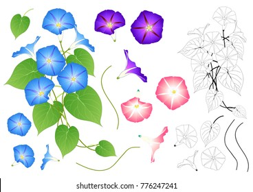 Blue Pink and Purple Morning Glory Outline. isolated on White Background. Vector Illustration.