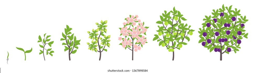 Blue Plum tree growth stages. Vector illustration. Ripening period progression. Damsons fruit tree life cycle animation plant seedling. Sweet Plum. Prunus increase phases.