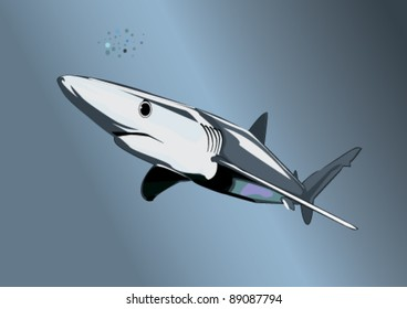 Blue shark (Prionace glauca) on the prowl. Complex Illustrator 8.0 compatible .eps file.