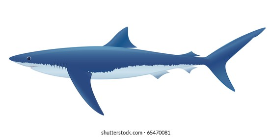 Blue Shark (Prionace glauca) saltwater fish.