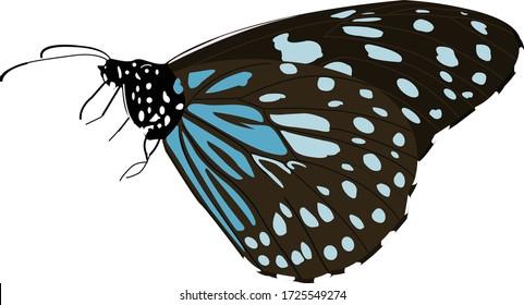 Blue tiger butterfly, Tirumala limniace, Lalbagh, Bangalore, Karnataka, India