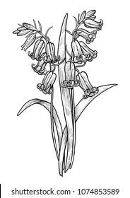 Bluebell, hyacinth flower illustration, drawing, engraving, ink, line art, vector