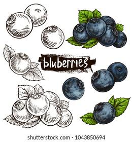 Blueberries. Hand drawn illustration. Wild berries set.