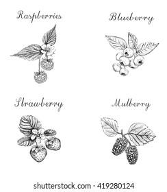 Blueberries, raspberries, strawberries and mulberries vector illustration. Set of berries skech. berries eps/ berries vector/ berries skech/  berries/  berries illustration/ berries set/ berries eps10