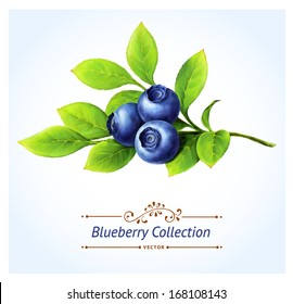 Blueberry branch, leaves and berries isolated on white background. Realistic digital paint. Vector illustration.