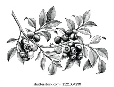 Blueberry hand drawing vintage clip art isolate on white background