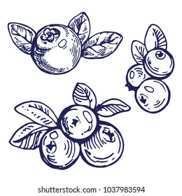 Blueberry with leaves hand drawn ink outline sketch doodle illustration collection set design for coloring book page