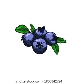 Blueberry vector illustration for Logo and Packaging. Vector drawing, handrawn, vintage, line art of Blueberry on white background 1