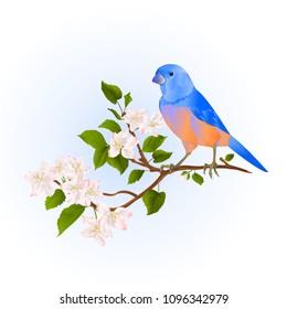 Bluebird  thrush small songbirdon on an apple tree branch with flowers vintage vector illustration editable hand draw