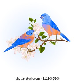 Bluebirds  thrush small songbirdons on an apple tree branch with flowers vintage vector illustration editable hand draw