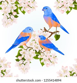 Bluebirds  thrush small songbirdons on an apple tree branch with flowers spring background vintage vector illustration editable hand draw