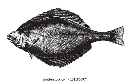 Blue-throated halibut, fish collection. Healthy lifestyle, delicious food. Hand-drawn images, black and white graphics.