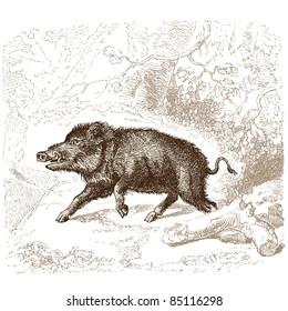 "Boar - vintage engraved illustration - ""Histoire naturelle"" by Buffon and Lacépède published in 1881 France"