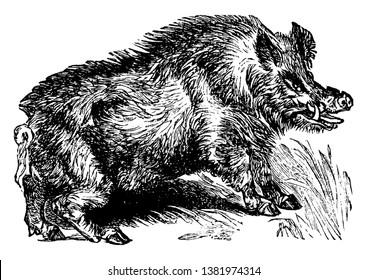Boar is the wild ancestor of the domesticated pig, vintage line drawing or engraving illustration.