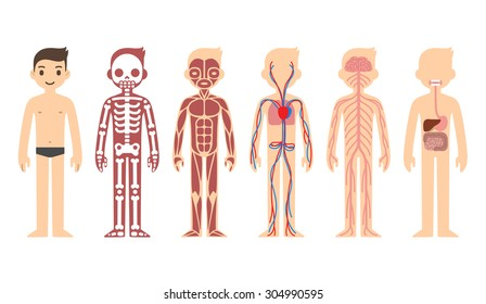 Body anatomy chart: skeletal, muscular, circulatory, nervous and digestive systems. Flat cartoon style.