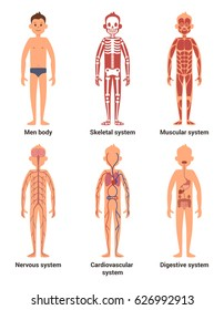 Body anatomy of men. Nerves and muscular systems, heart and other organs. Vector illustration set. Skeletal system and blood anatomical system