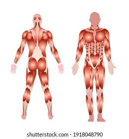 body muscles, front and back, medical illustration