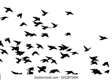 Bohemian waxwing (Bombycilla garrulus) in flight. Vector silhouette a flock of birds