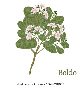 Boldo. Illustration of a plant in a vector with flower for use in botany.
