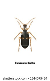 Bombardier beetles  vector on white background.