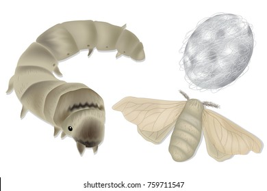 Bombyx mori, silkworm and cocoon. Silk cultivationVector illustration