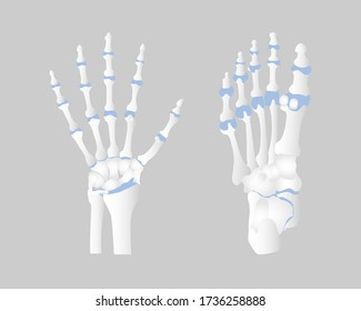 bone of the hand and foot anatomy, internal organs body part orthopedic health care, vector illustration cartoon flat character design clip art