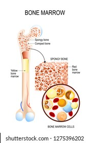 Bone Marrow (Yellow, Red) and blood cells (erythrocyte, lymphocyte, monocyte, esinophil, basophil, neurophil). Vector diagram for your design, educational, biological, science and medical use