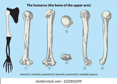 the bone of the upper arm