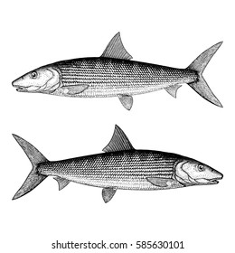 Bonefish Illustration